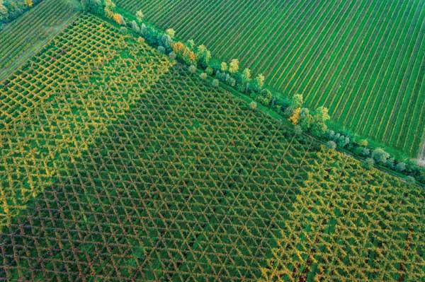 Поля, на которых выращивается виноград для просекко