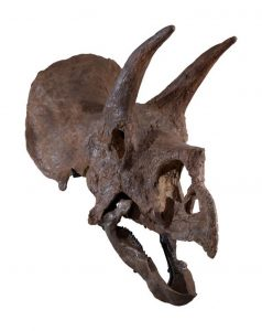 An exceptional, very complete skull of a triceratops. Image courtesy Sotheby's.